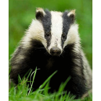 No badgers were harmed in the writing of this article.