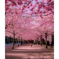 Sakura Japan Pink Canopy